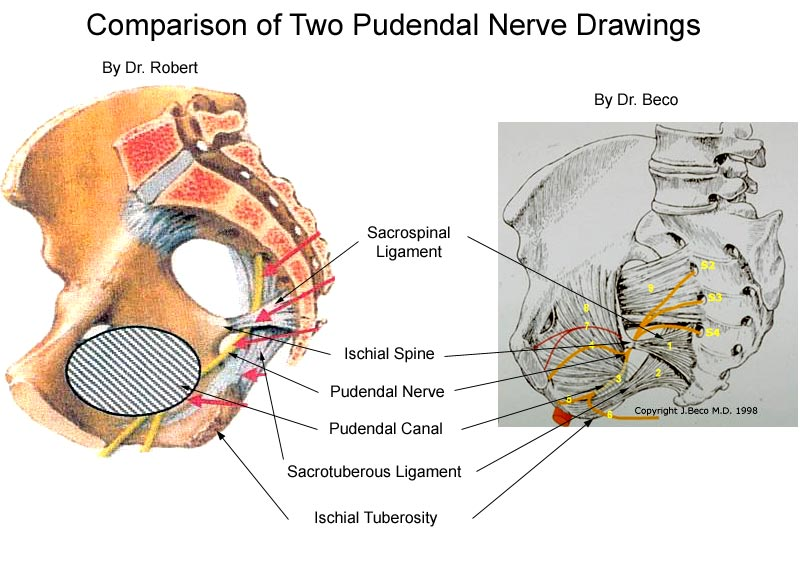 anatomy of the pudendal nerve health organization for