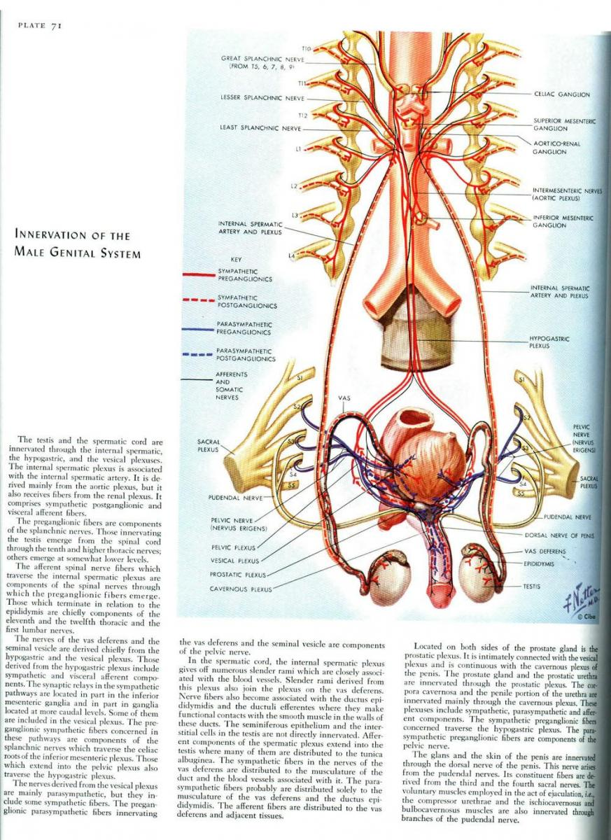 Anatomy of the pudendal nerve health organization for pudendal innervation of the male genital system pooptronica Images