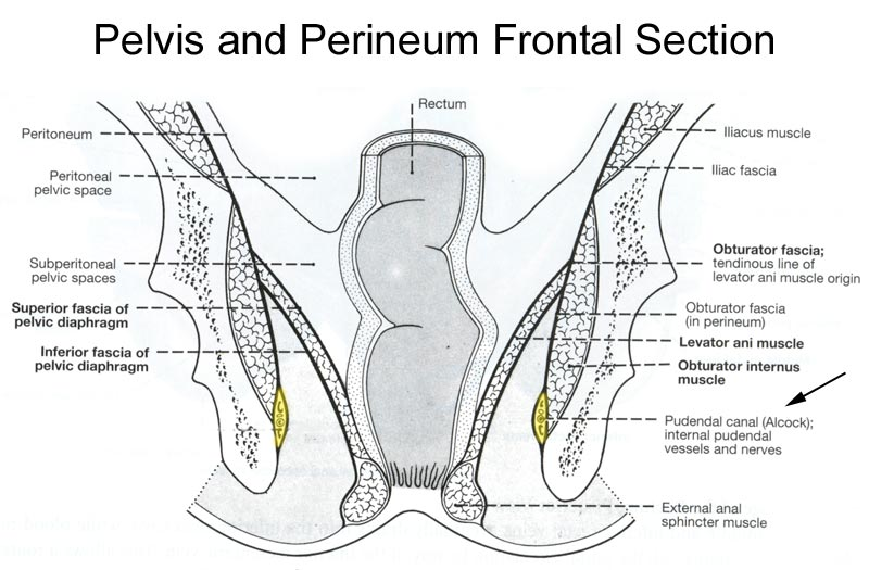 how many nerves are in the penis