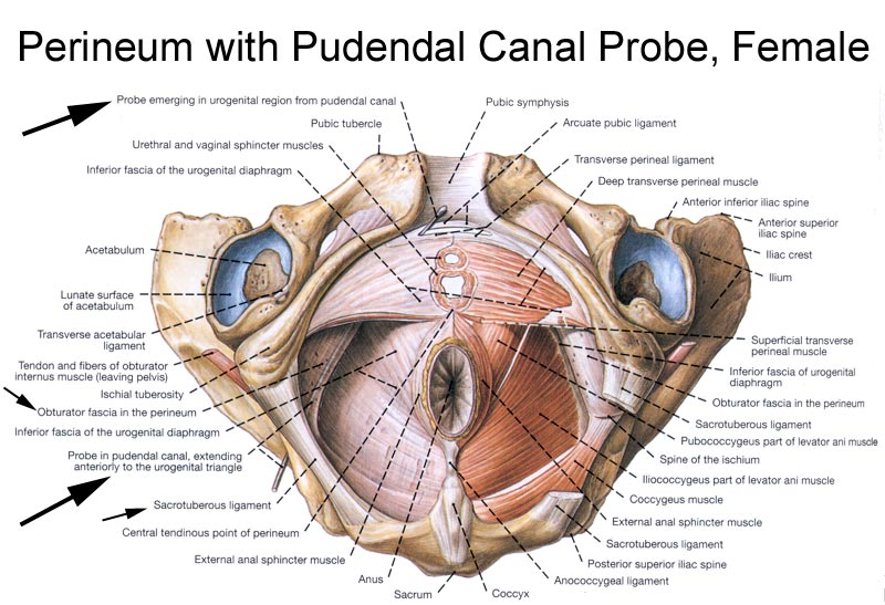 anatomy of the pudendal nerve | health organization for pudendal, Muscles