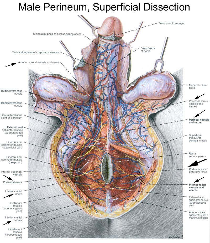 Anatomy of the Pudendal Nerve | Health Organization for Pudendal ...